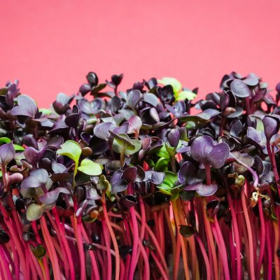 sementes rabanete vulcano